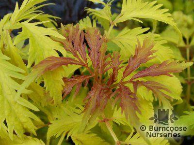 SAMBUCUS racemosa 'Plumosa-Aurea'