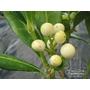 SKIMMIA japonica 'Fructo Albo'
