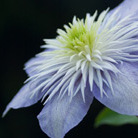 Clematis Crystal Fountain ('Evipo038') (PBR) (clematis (group 2))