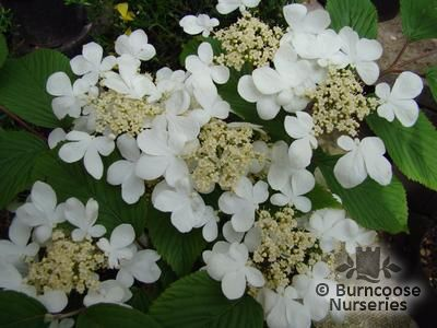 VIBURNUM plicatum 'Lanarth'