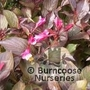 WEIGELA florida 'Alexandra' 