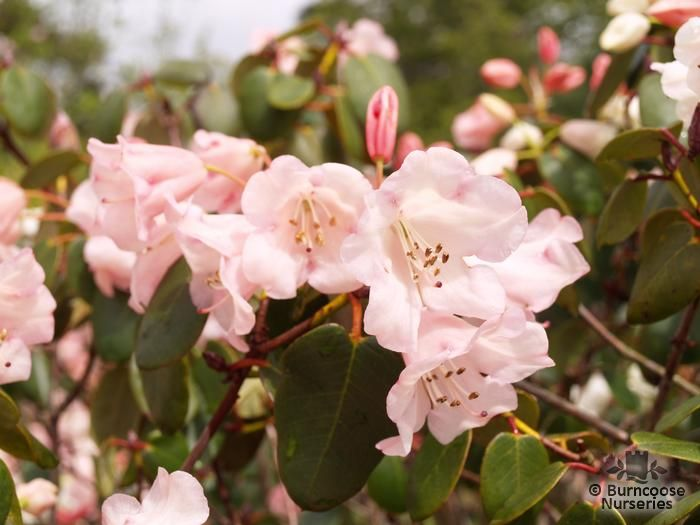 RHODODENDRON 'Pink Pebble'