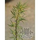 SALIX eleagnos subsp. Angustilfolia