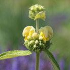 Phlomis russeliana (phlomis)