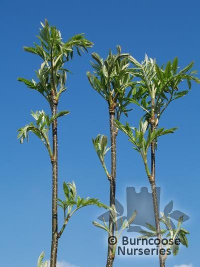 SORBUS aucuparia 'Aspleniifolia'