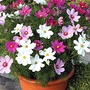 Cosmos Sonata Mixed* (60 Medium Plants)