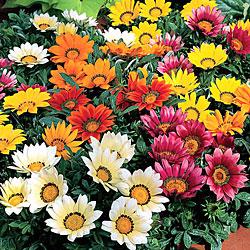 Gazania Kiss Mixed* (60 Medium Plants)