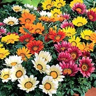 Gazania Kiss Mixed* (60 Medium Plants)