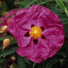 Cistus x  purpureus (rock rose)