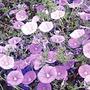 Convolvulus sabatius* (5 Young Plants)