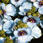 Diascia Denim Blue* (5 Young Plants)