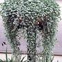 Dichondra Silver Falls* (5 Young Plants)
