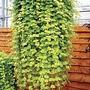Lysimachia aurea* (5 Young Plants)