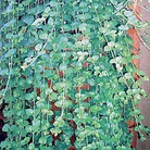 Satureia douglasii* (5 Young Plants)