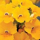 Nemesias Sunsatia Collection* (5 Young Plants)