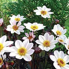 Dahlia Dark Leaved Collection* (5 Young Plants)