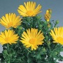Osteospermums Sunny Collection* (5 Young Plants)