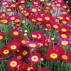 Marguerite Kaleidoscope Collection* (5 Young Plants)