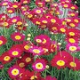 Marguerite Starlight Red* (5 Young Plants)