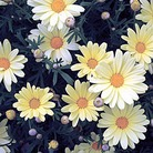 Marguerite Butterfly* (5 Young Plants)