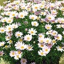 Marguerite Summit Pink* (5 Young Plants)