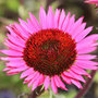 Echinacea purpurea &#x27;Vintage Wine&#x27; (PBR) (coneflower)