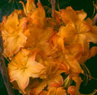 Rhododendron 'Klondyke' (deciduous azalea)