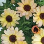 Marguerite Reflection Yellow Cream* (5 Young Plants)