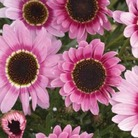 Marguerite Reflection Pink* (5 Young Plants)