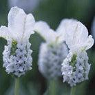 Lavandula stoechas subsp. stoechas f. leucantha 'Snowman' (white French lavender)