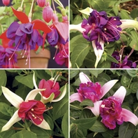 Fuchsia (Giant) 12 Jumbo Ready Plants
