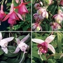 Fuchsia (Trailing) 12 Jumbo Ready Plants