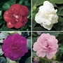Busy Lizzie (Impatiens) Double 12 Jumbo Ready Plants