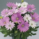 Osteospermum Pinks 12 Jumbo Ready Plants