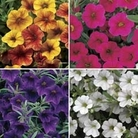 Petunia Million Bells Patio Mix 12 Jumbo Ready Plants
