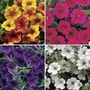 Petunia Million Bells Patio Mix 12 Jumbo Ready Plants