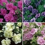 Petunia Tumbelina (Scented) 12 Jumbo Ready Plants