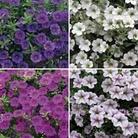 Petunia Million Bells (Trailing) 12 Jumbo Ready Plants