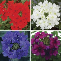 Verbena (Trailing) 12 Jumbo Ready Plants