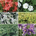 Foliage / Filler Collection 12 Jumbo Ready Plants