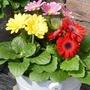Gerbera (Garden Variety) 12 Jumbo Ready Plants
