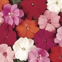 Impatiens New Guinea Divine 12 Jumbo Plants