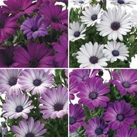 Osteospermum Regal Classic 12 Jumbo Ready Plants
