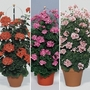 Geranium Antik (Climbing) 12 Jumbo Ready Plants