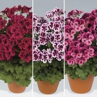 Geranium Pelargonium Candy 12 Jumbo Ready Plants