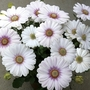 Osteospermum Luena 28 Super Ready Plants