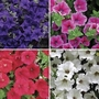 Petunia Surfina Classic (Trailing) 12 Jumbo Ready Plants