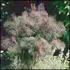 Foeniculum vulgare 'Giant Bronze'
