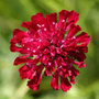 Knautia macedonica &#x27;Mars Midget&#x27; (knautia)