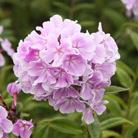 Phlox paniculata 'Franz Schubert' (border phlox)